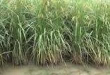 我国科学家成功克隆出杂交稻种子