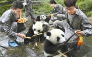 """四川大学招揽""""熊猫人才"""" 最高给出300万元科研经费"""